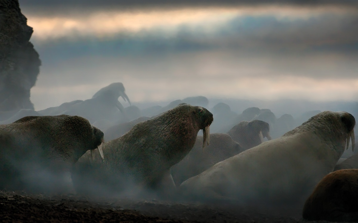 A Walrus Herd on an Island Near Hall Beach, Nunavut, 2011